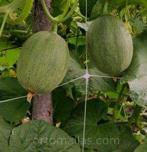 Cultivo de melón con ortomalla
